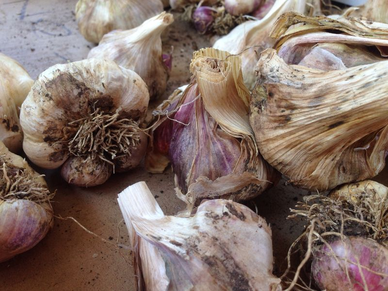 Garlic party and early fall 14 031